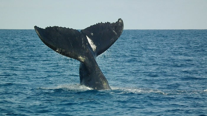 Humpback whale in Abrolhos Marine Park