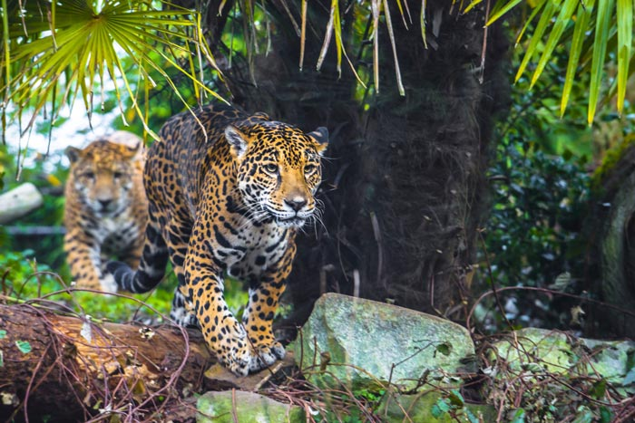 Jaguars walking in the wild in Brazil