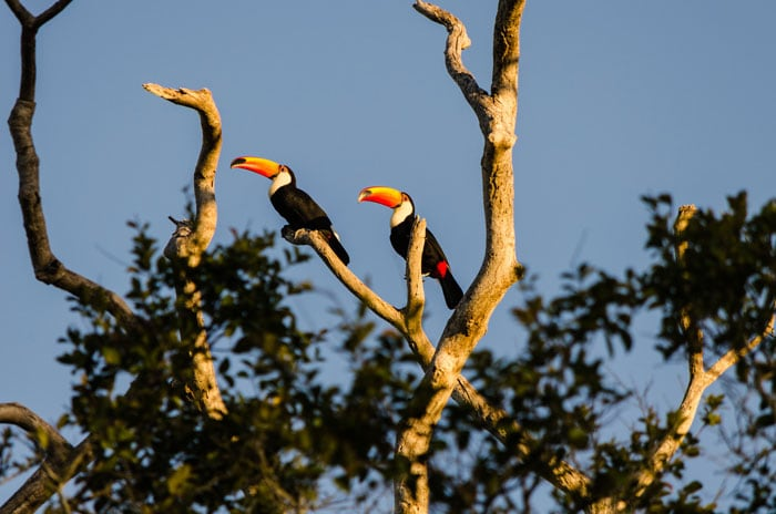 Toucans at the Pantanal
