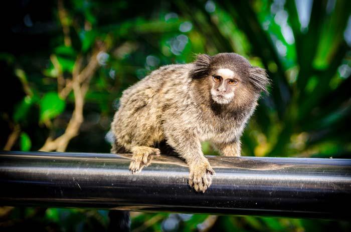 Monkey at the Sugarloaf Mountain, Rio de Janeiro