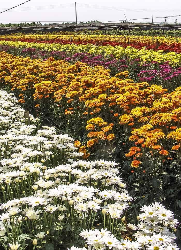 Flower field in Holambra, São Paulo