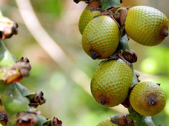 Green Buriti, fruit of Brazil