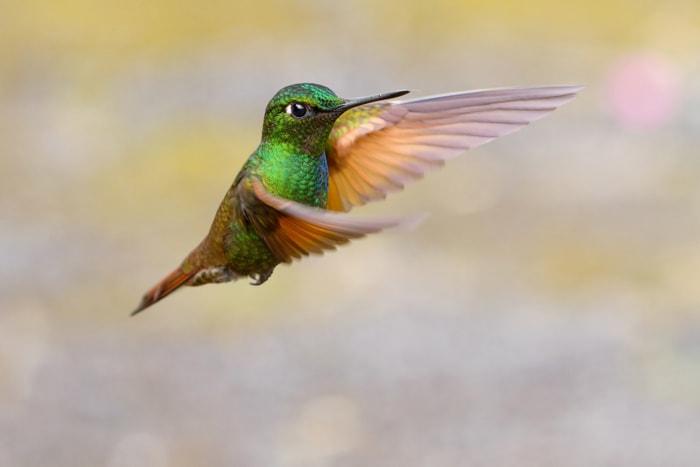 Brazilian Ruby hummingbird flying