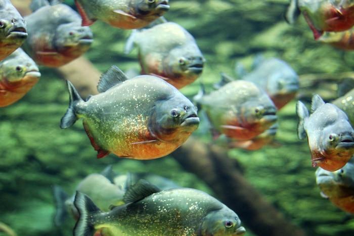 Flock of piranhas