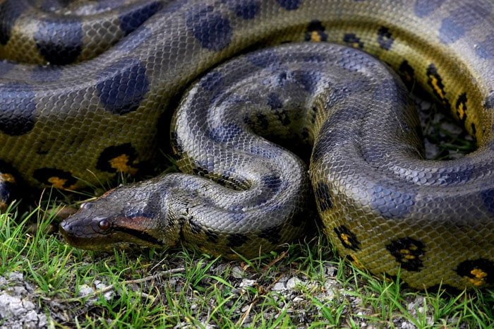 Green anaconda is one of the biggest animals in Brazil
