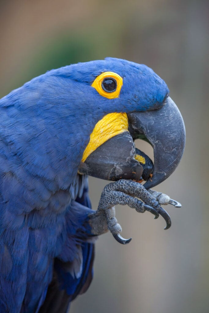 Hyacinth macaw is one of the prettiest animals in Brazil