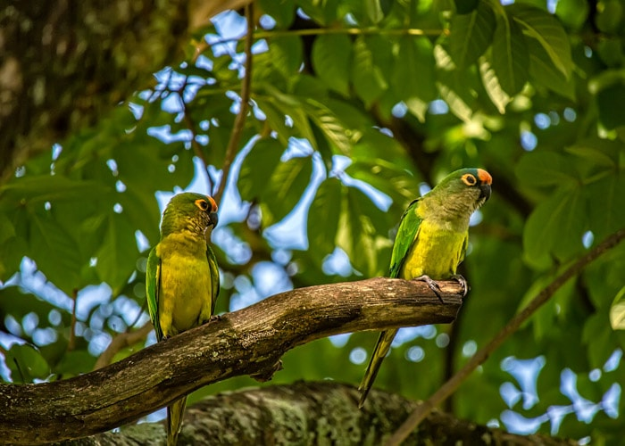 Peach-fronted Parakeets