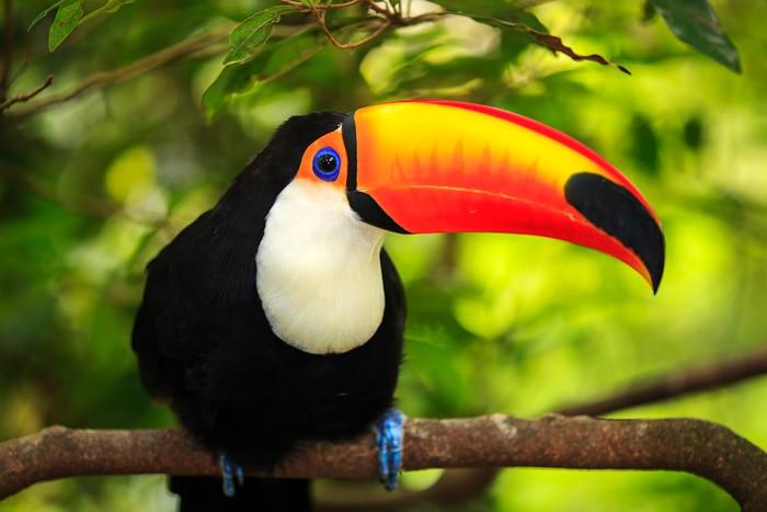 Toco toucan in the Brazilian Pantanal