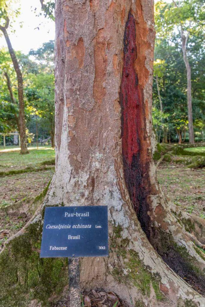 View to Pau-brasil tree (Brazil Wood) with red trunk in the Botanical Gardens, Rio de Janeiro, Brazil