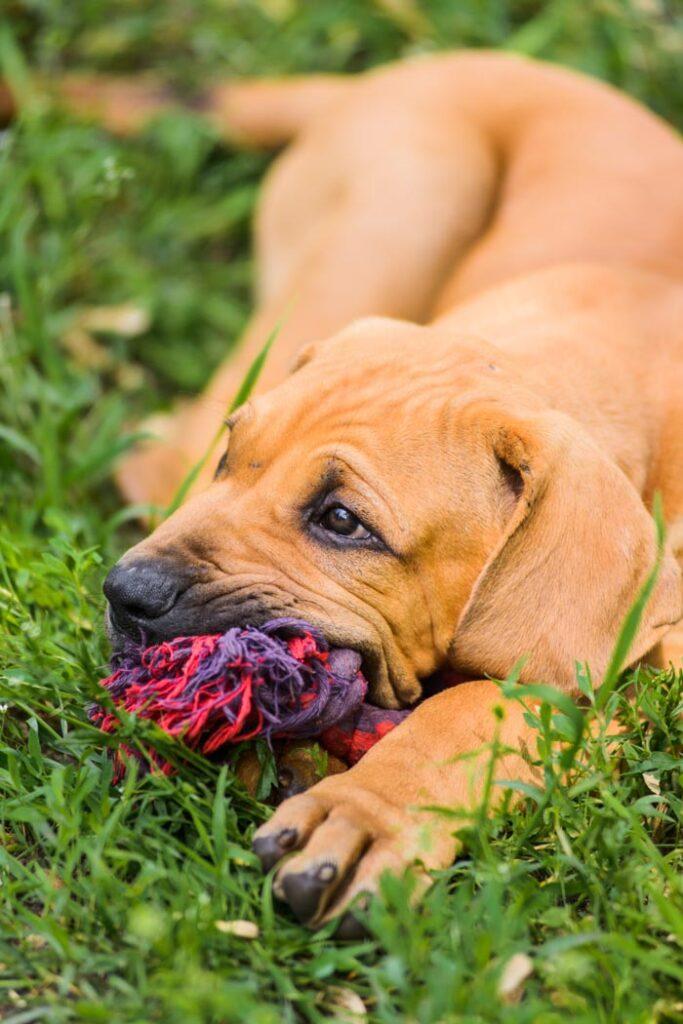 Adorable Fila Brasileiro puppy