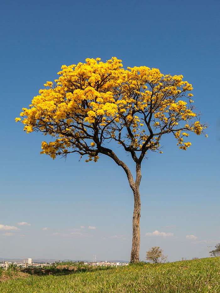 Yellow-Ype Tree