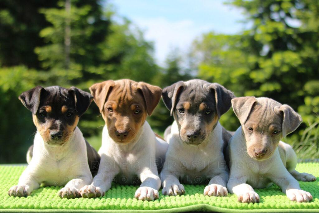 Brazilian Terrier puppies
