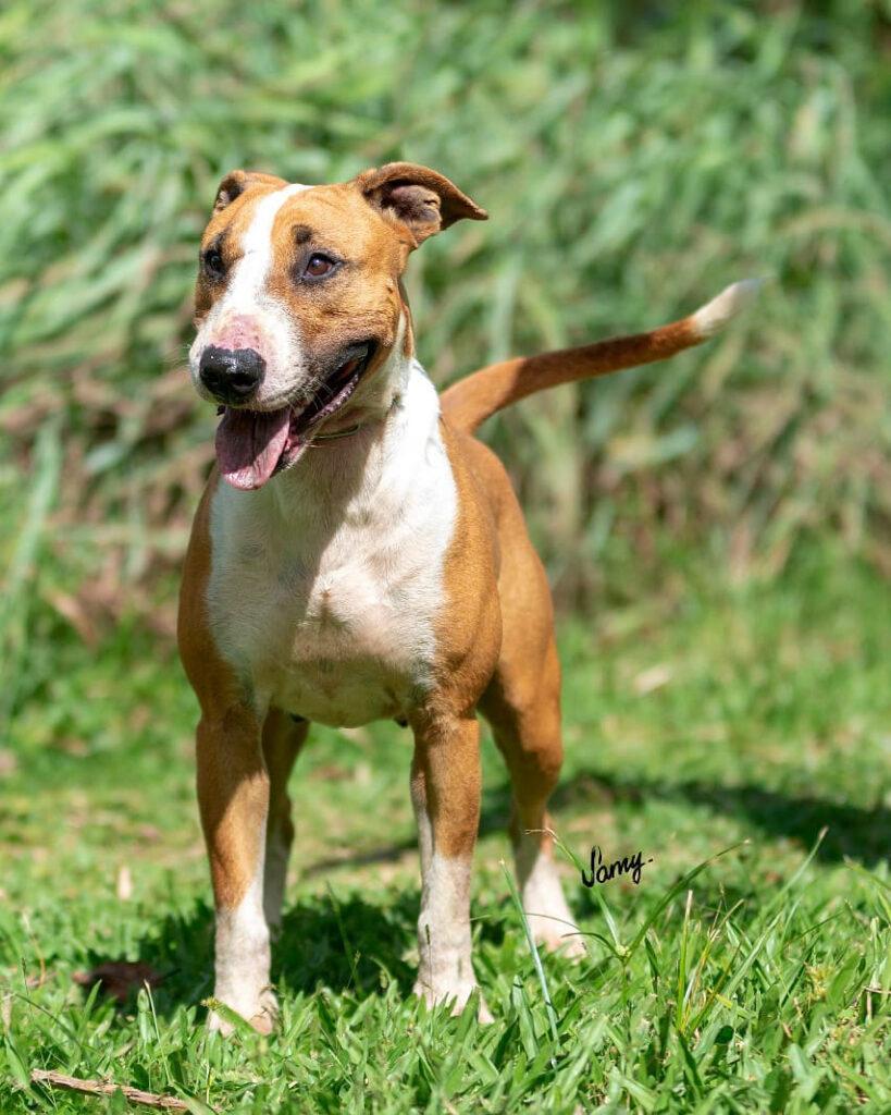 Brazilian Dogo