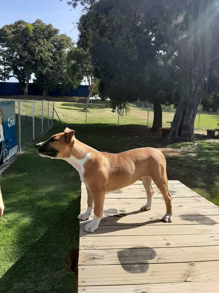 Brazilian Dogo puppy