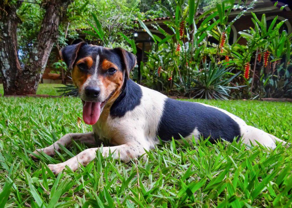 Brazilian Terrier chilling