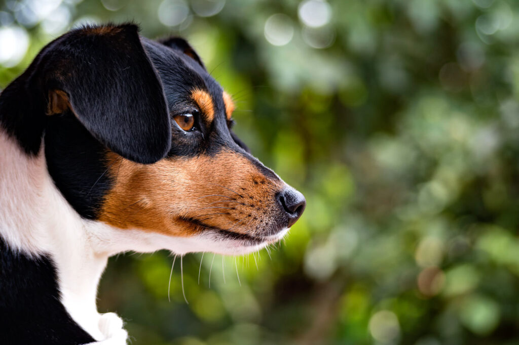 Brazilian Terrier closeup