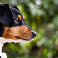 Brazilian Terrier closeup