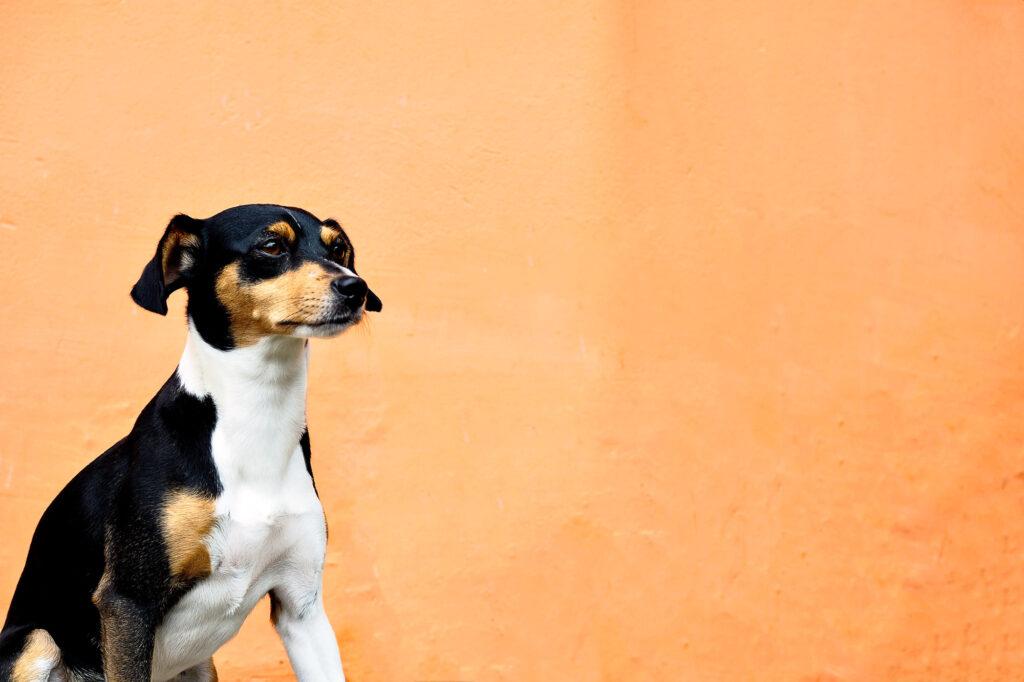 Brazilian Terrier, the Fox Paulistinha