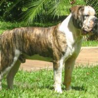 Buldogue Campeiro is the Brazilian Bulldog