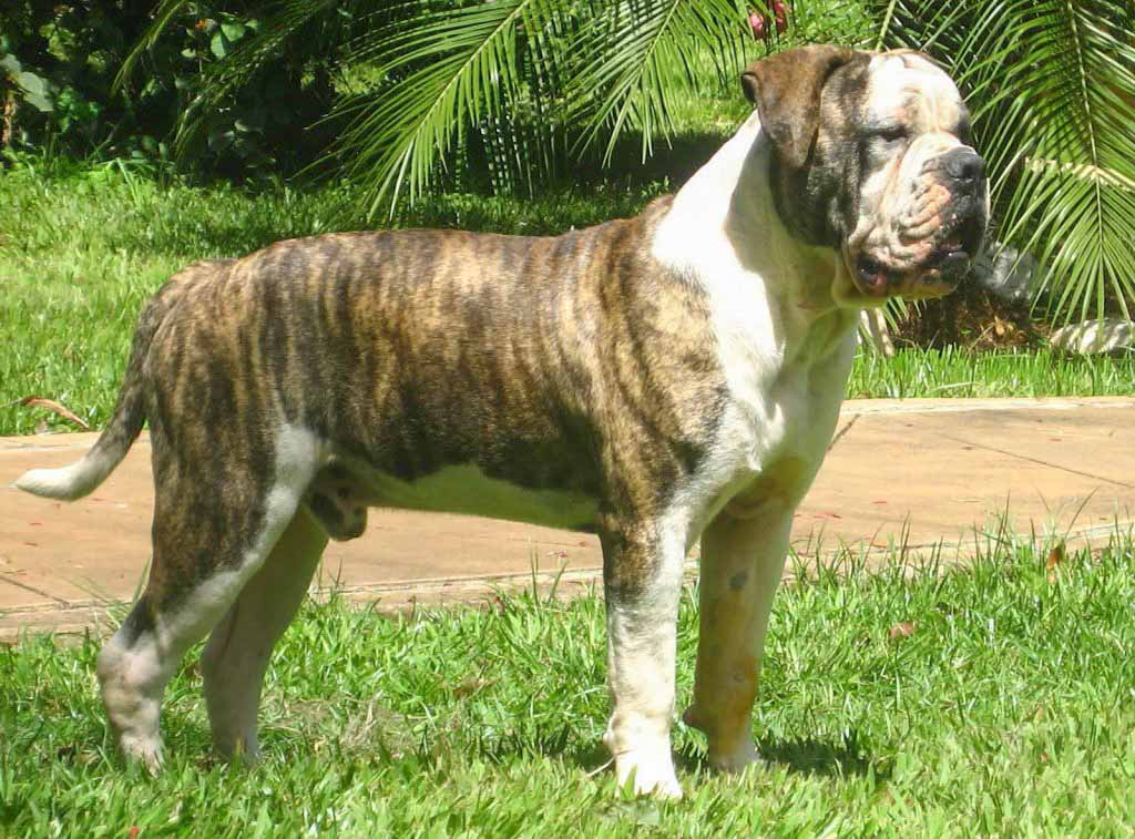 Buldogue Campeiro is the Brazilian Bulldog