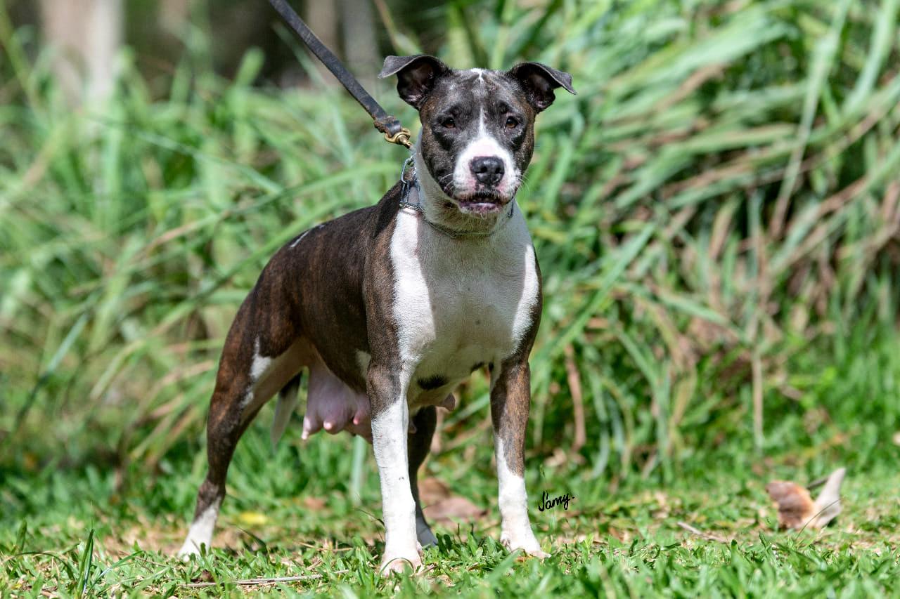 Female Brazilian Dogo