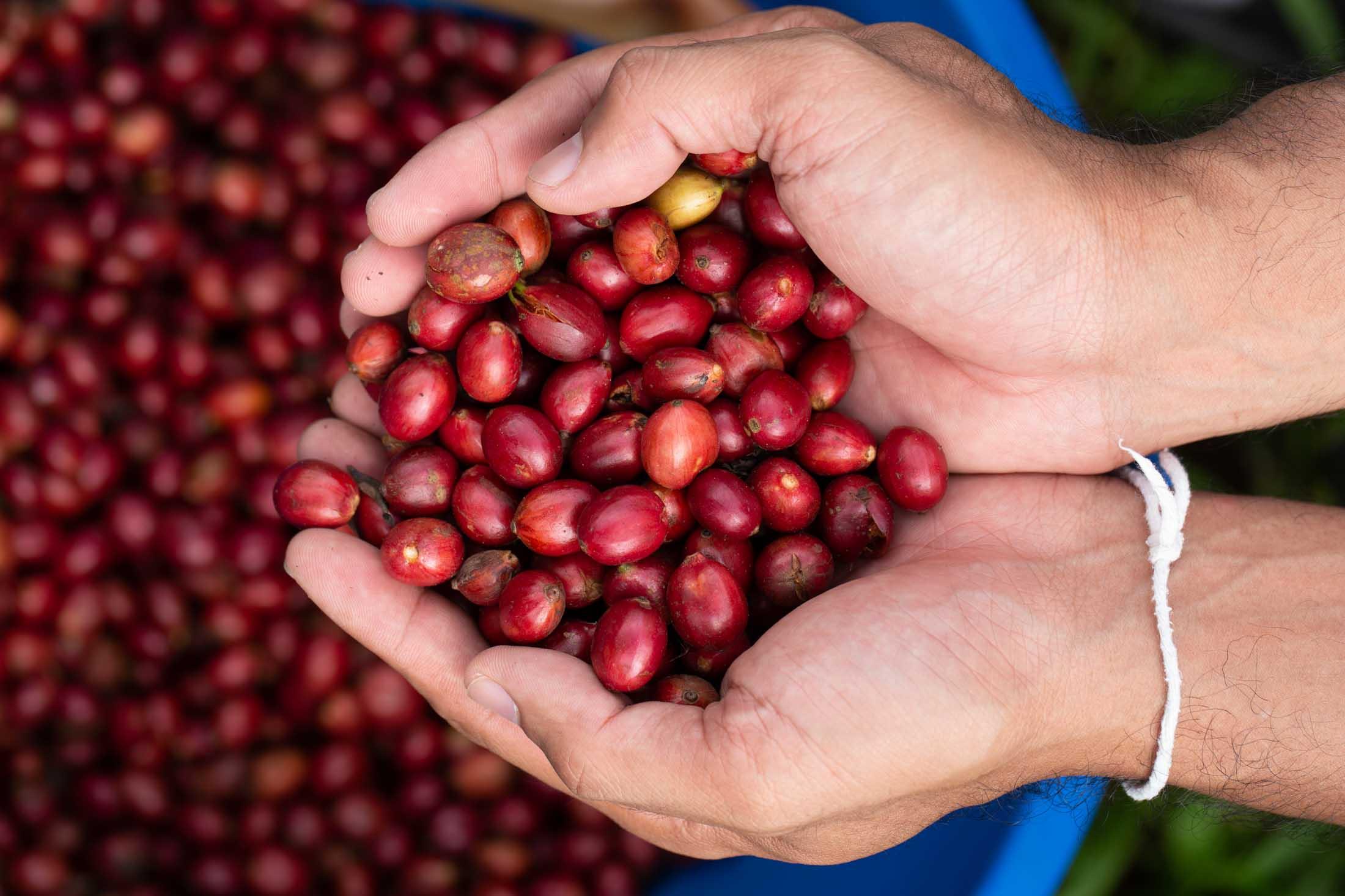 Fresh Brazilian Robusta Red Coffee beans berries