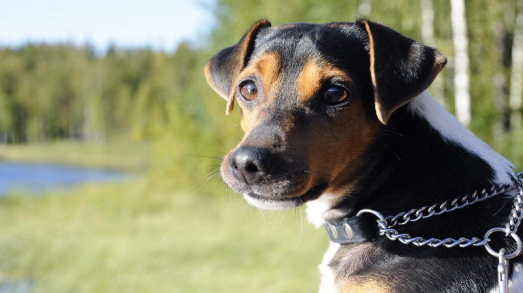 A Brazilian Terrier puppy