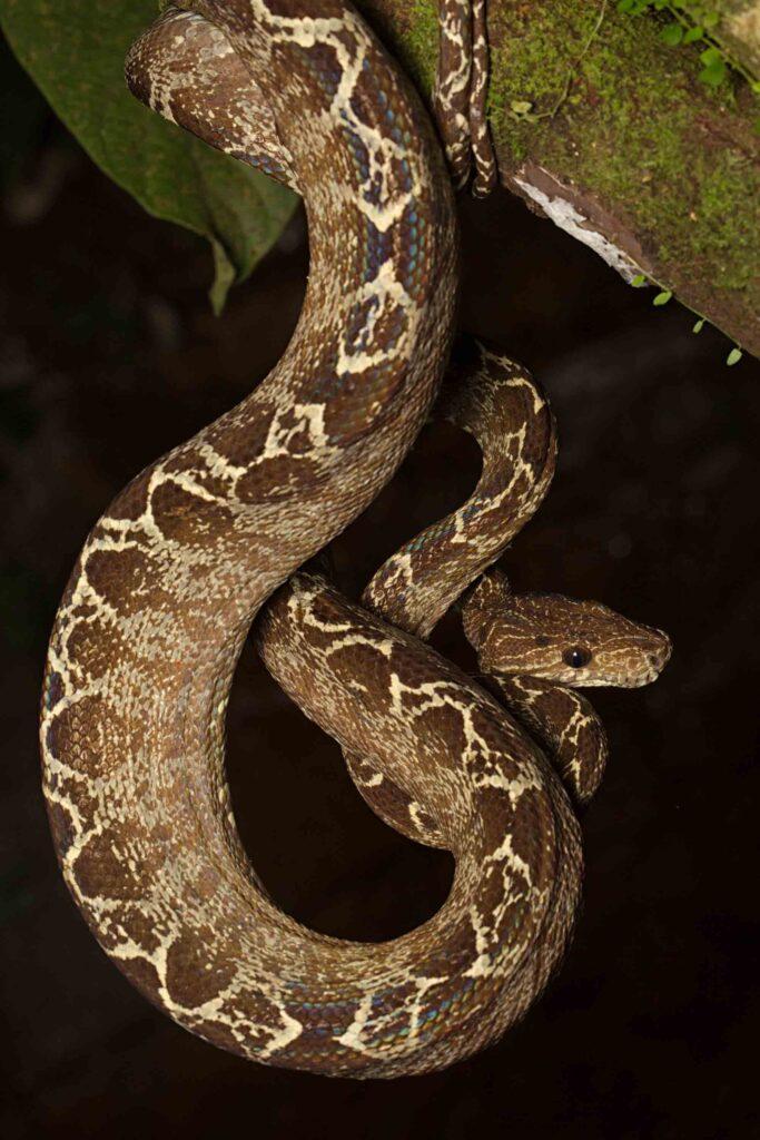 Amazon tree boa snake