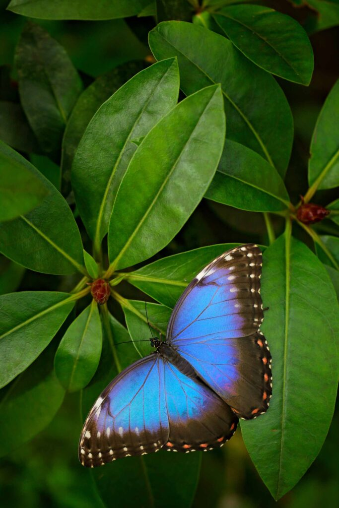 Blue morpho butterfly is the prettiest Amazon Rainforest insect