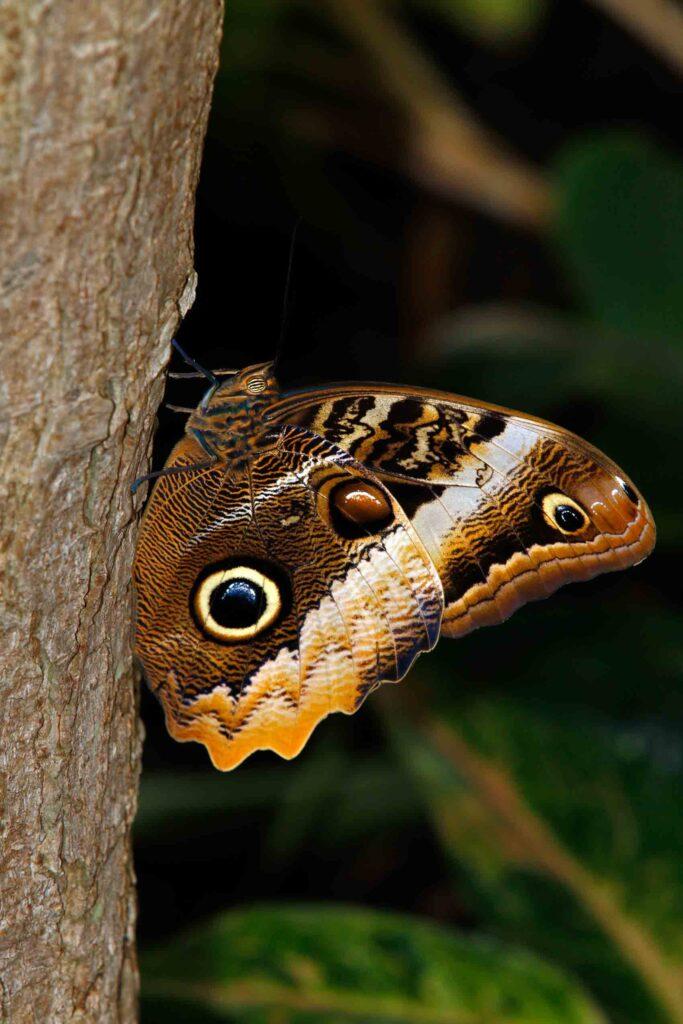 Brazilian owl butterfly