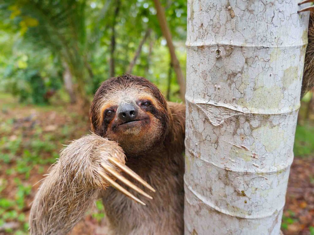 Brown-throated three-toed sloth is the slowest mammal in the Amazon Rainforest