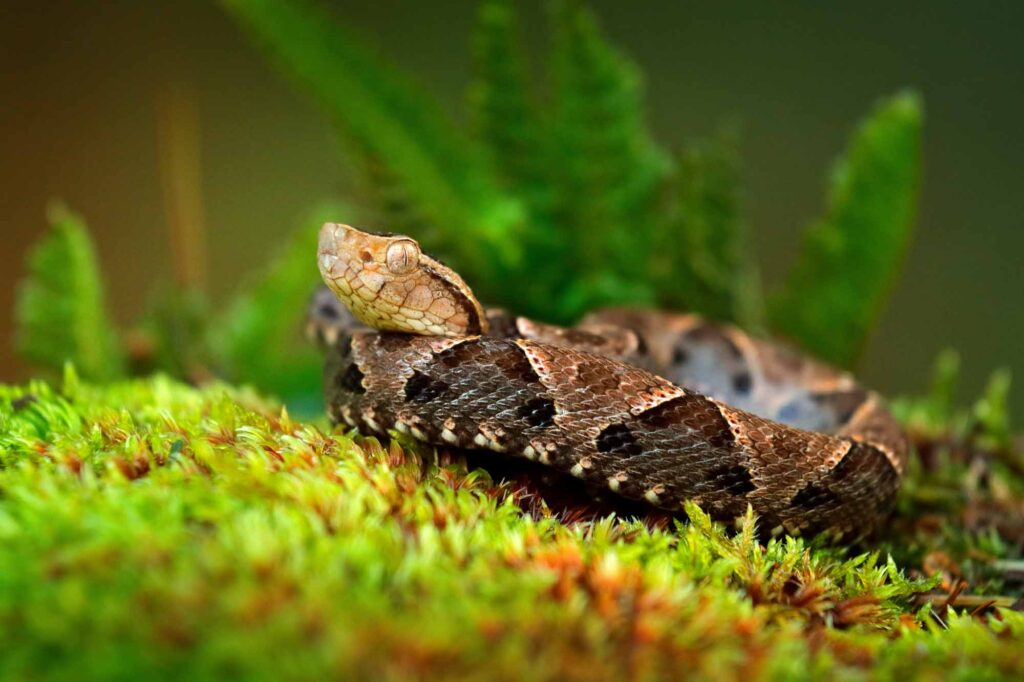 Common lancehead snake