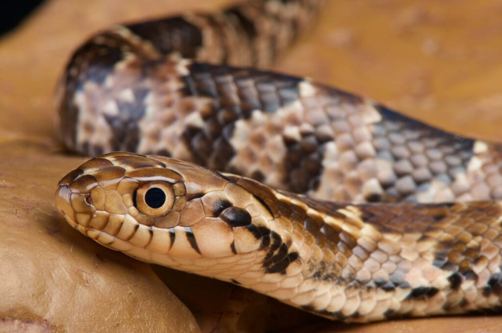 False water cobra snake