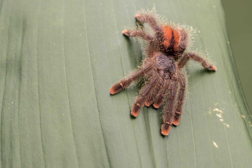 Pink-toed tarantula