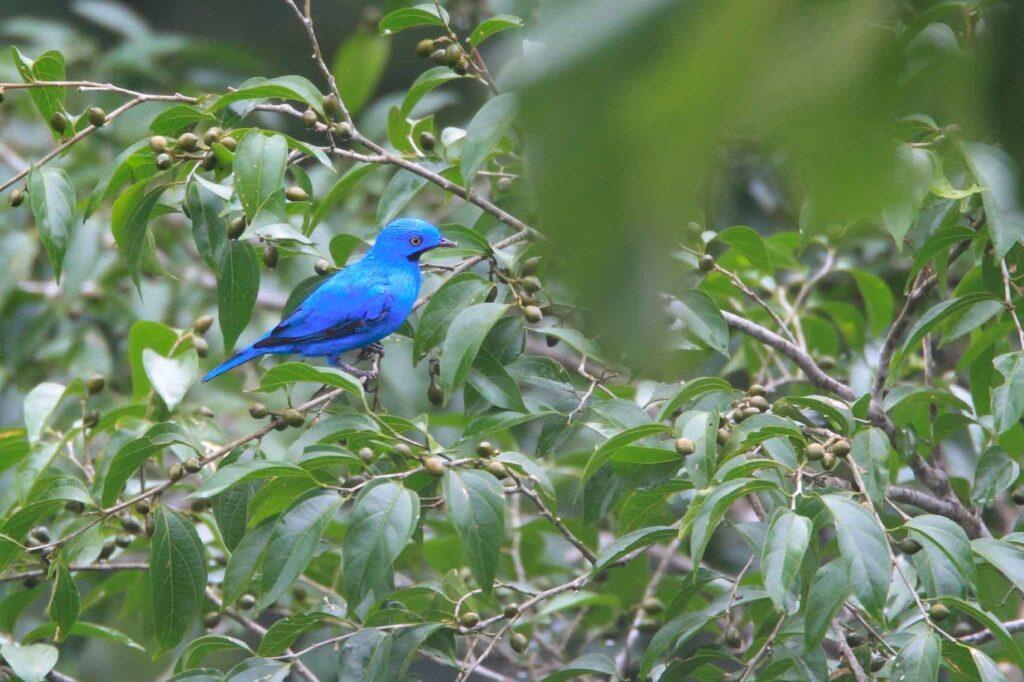 Plum-Throated Cotinga bird