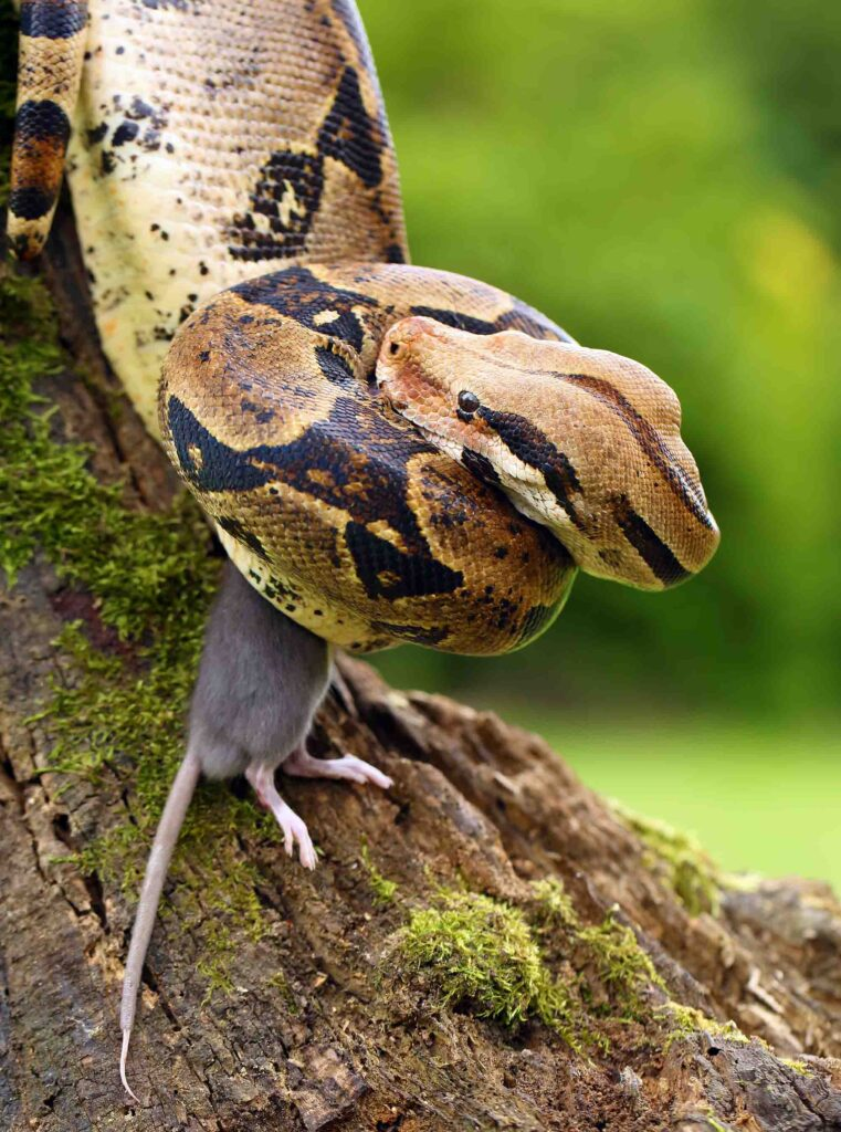 Boa constrictor is an Amazon Rainforest snake