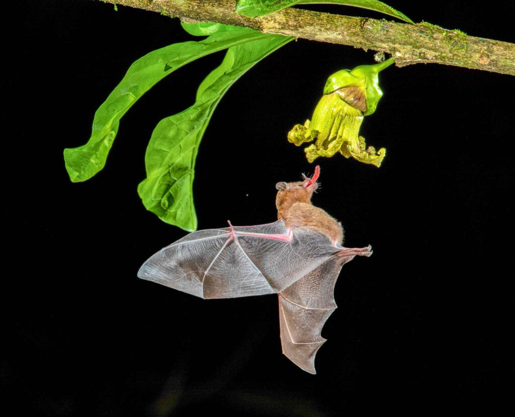 Brazilian brown bat in the Amazon Rainforest