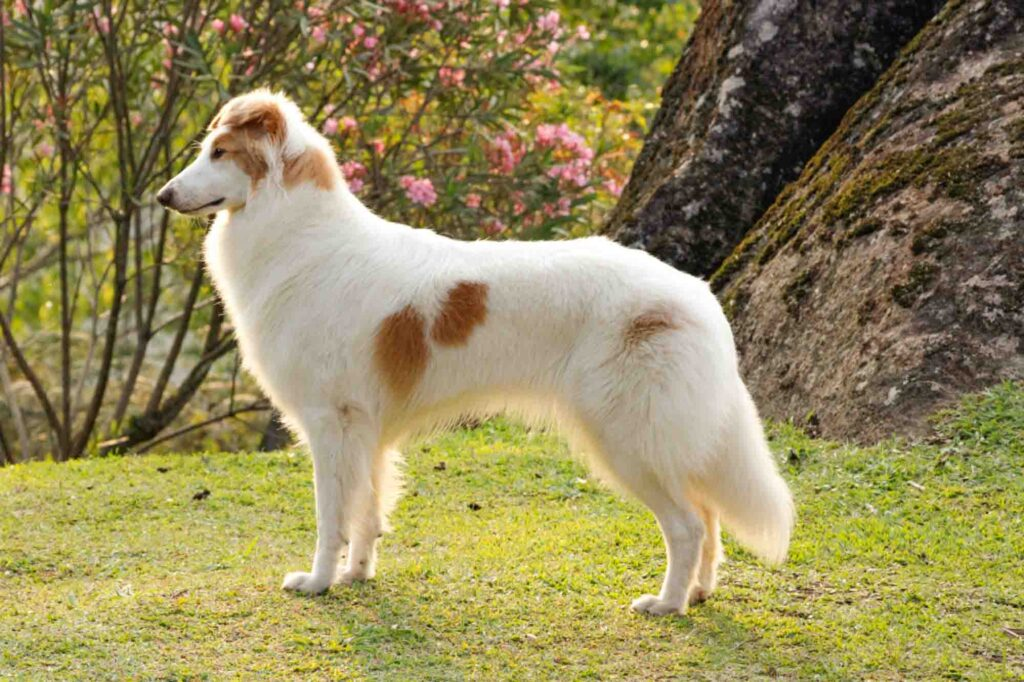 The gaucho sheepdog is a beautiful Brazilian dog