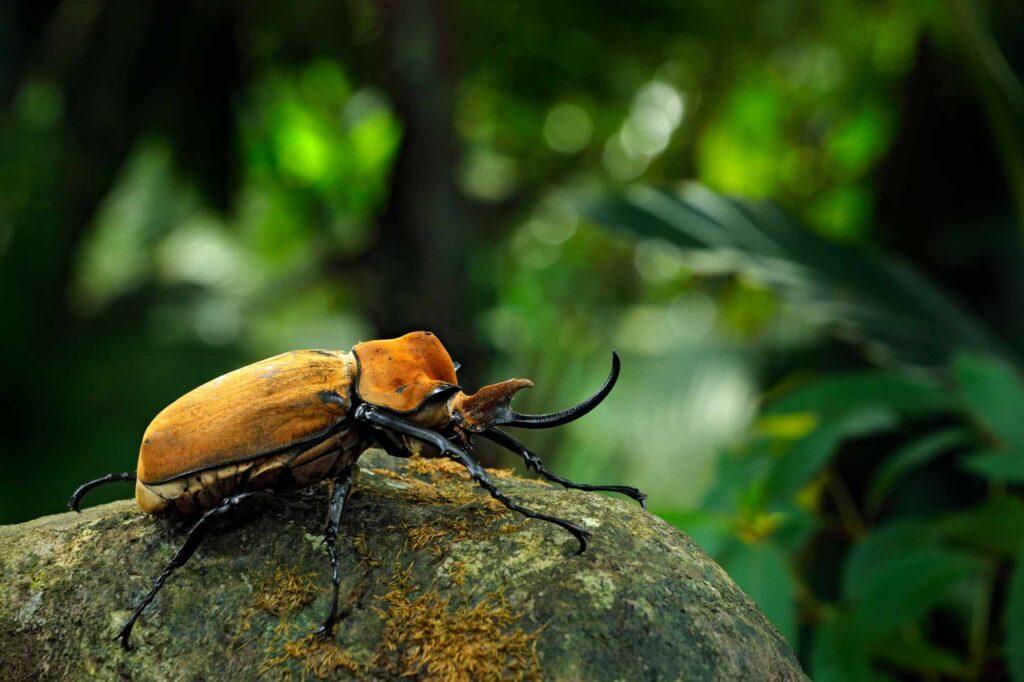 Elephant beetle