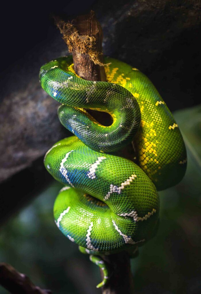 Emerald green boa snake