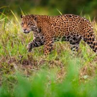 Jaguar is an Amazon Rainforest mammal