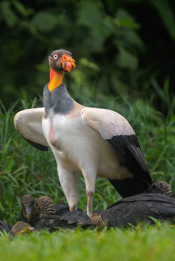 King vulture bird