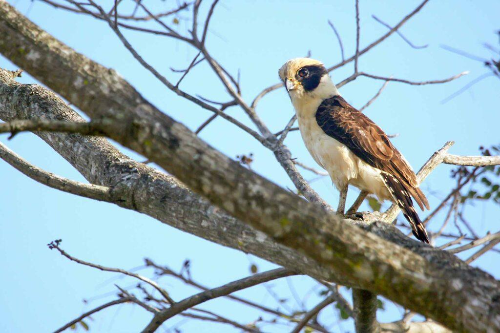 Laughing falcon bird