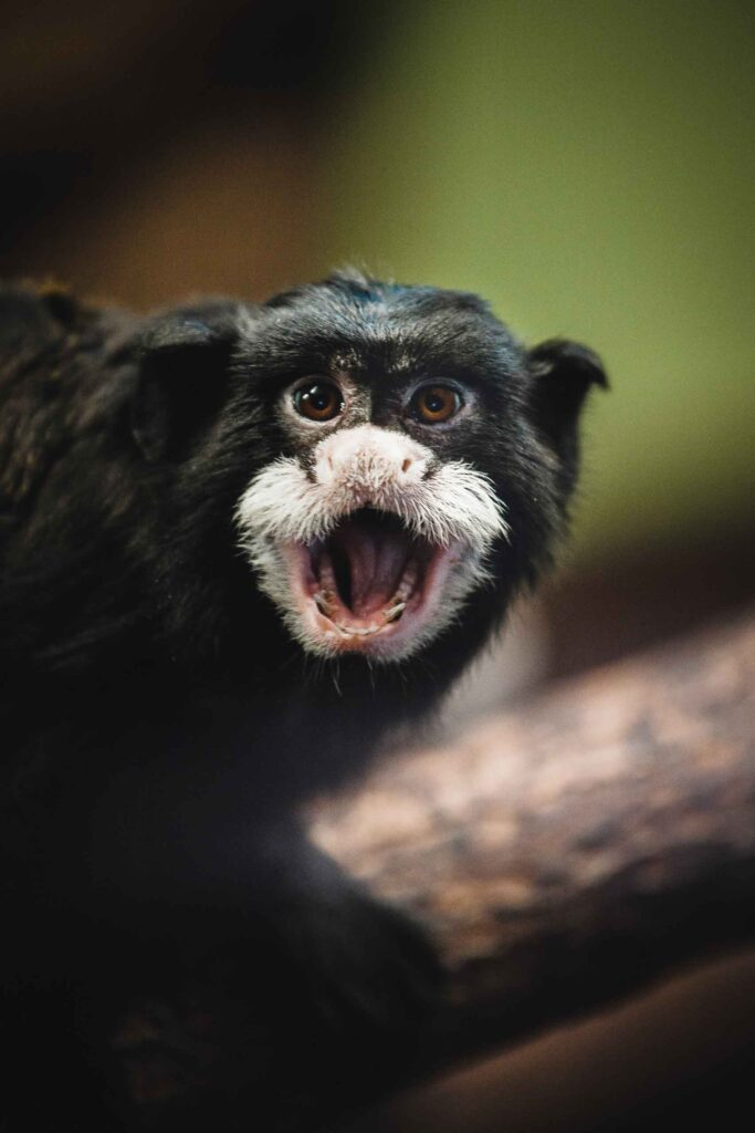 Mustached Tamarin Monkey