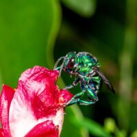 Orchid bee, euglossini