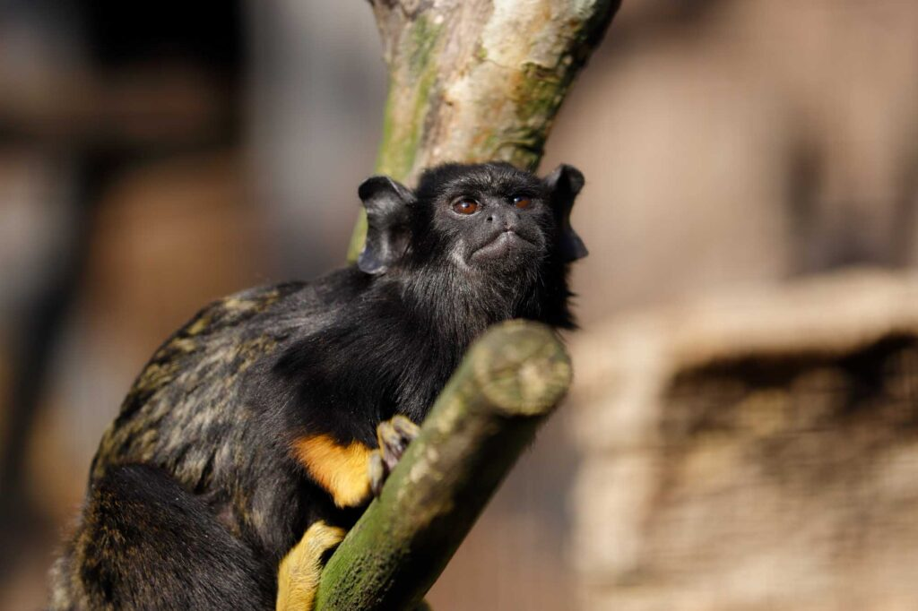 Red-handed tamarin monkey